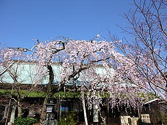 樹齢100年の枝垂れ桜 3月20日頃満開